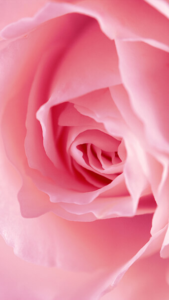 Amazing Pink Rose Flower
