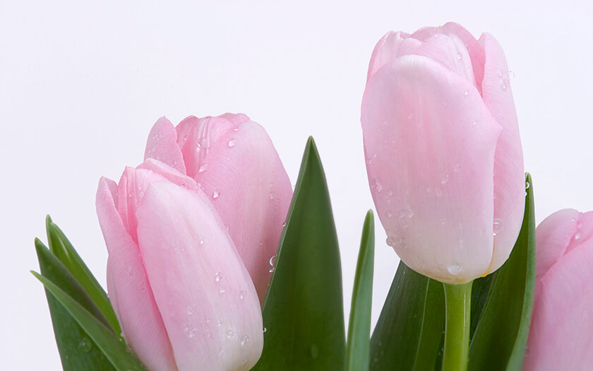 Baby Pink Tulips Flowers