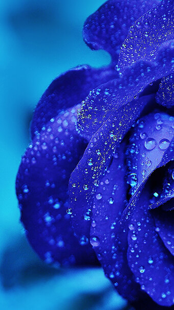 Beautiful Blue Rose Flower