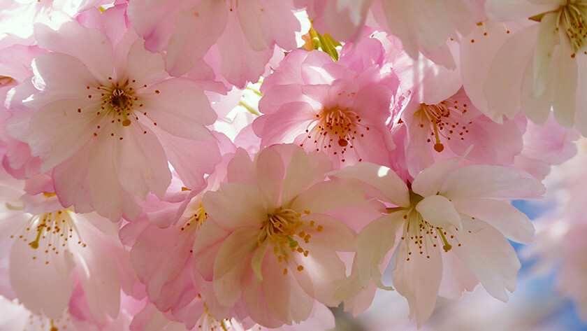 Beautiful Cherry Blossom Flowers