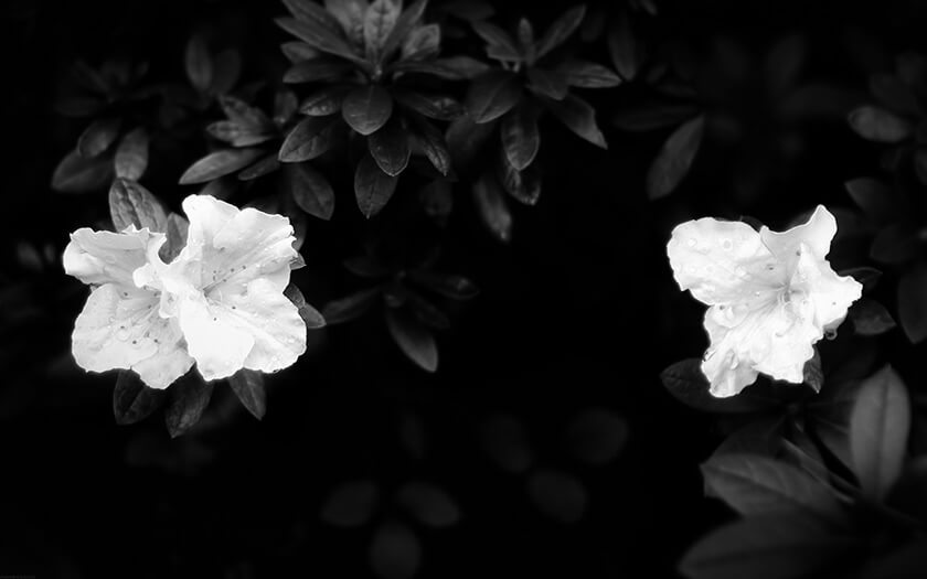 Black And White Azalea Flowers