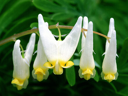 Bleeding Heart White Flowers