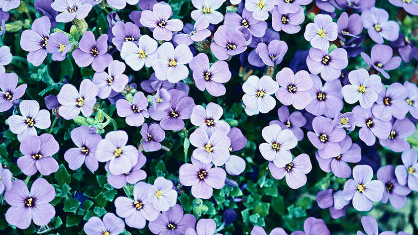Blue And White Pansy Flowers