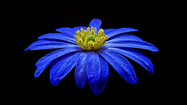 HD Blue Anemone Tablet Wallpaper ...