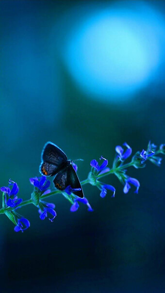 blue butterfly flowers
