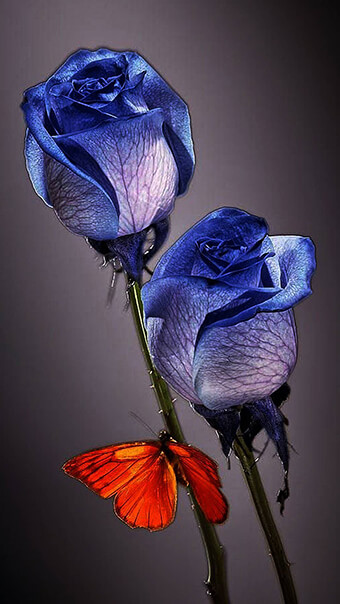 Blue Rose Butterfly Flowers