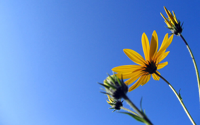 Blue Sky Yellow Daisy Flowers