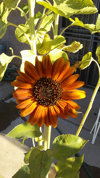 Brown Sunflower Flower