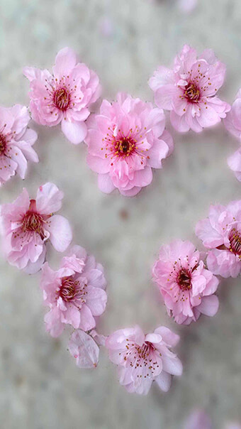 cherry blossom heart flowers