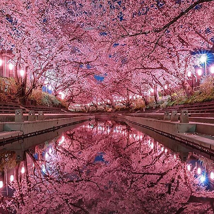 Cherry Blossom Tree Flowers