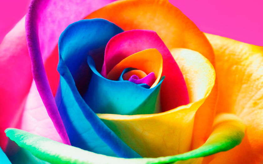 Colorful Rosy Rose