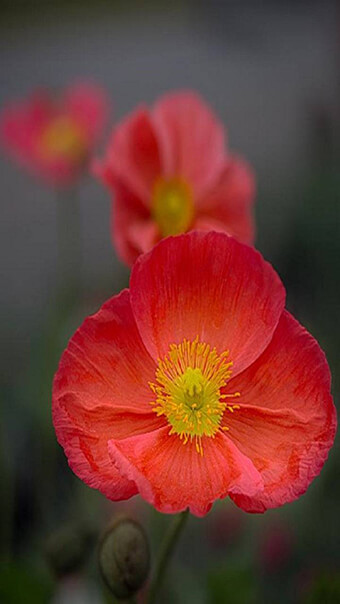 Common Poppy Flowers