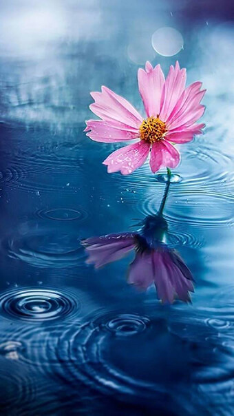 Cosmos In Water Flowers
