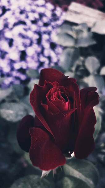 Dark Rose Flower