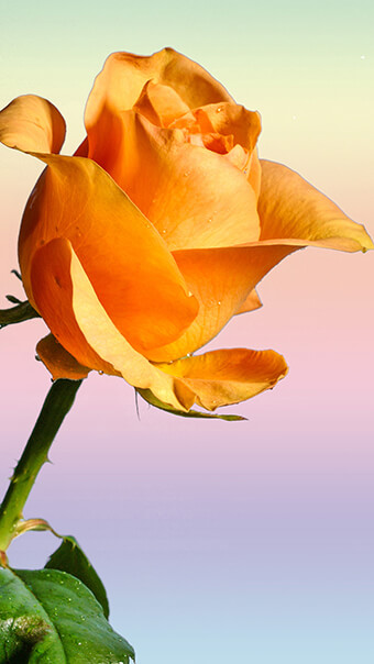 Golden Rose Flower