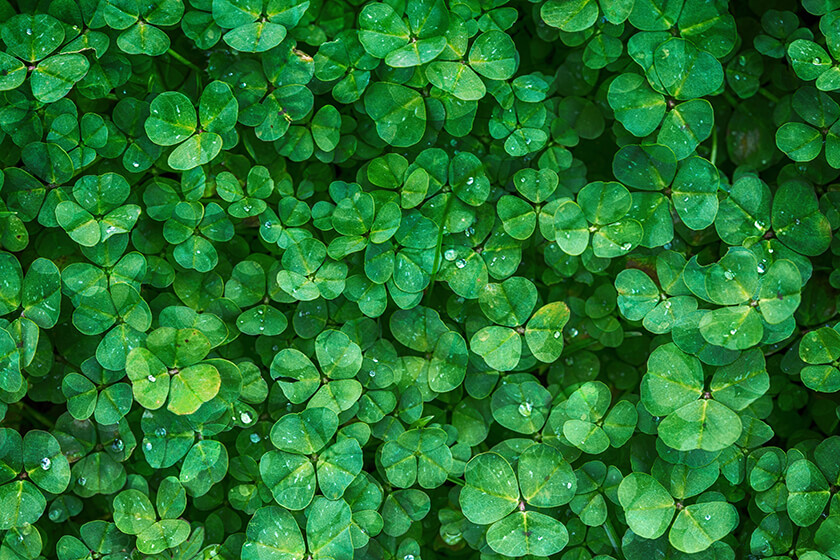 Green Clover Leaf Flowers