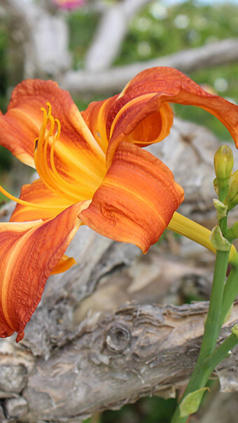 One Day Lily Flower