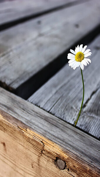One White Daisy Flower