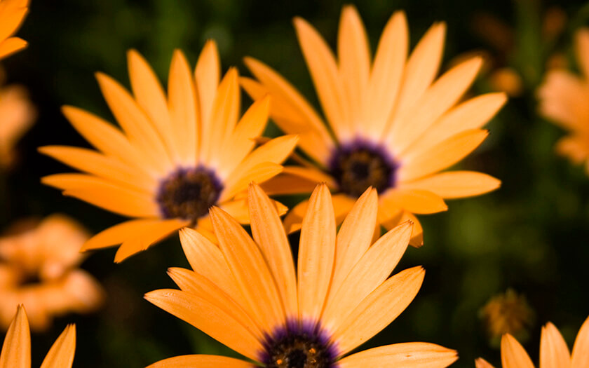 Orange Summer Daisy Flowers