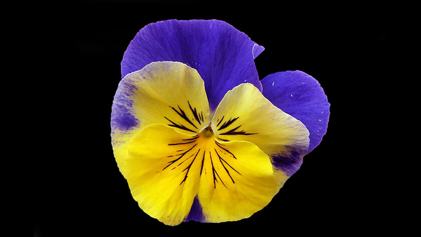 pansy on black flowers