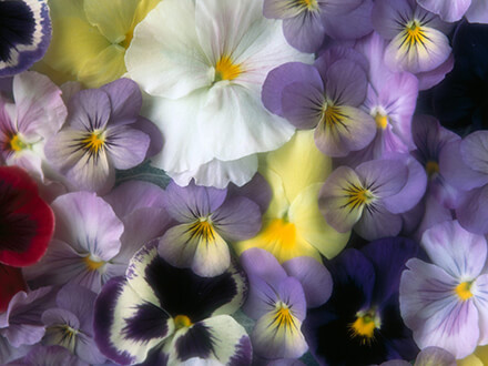 Pastel Pansy Flowers