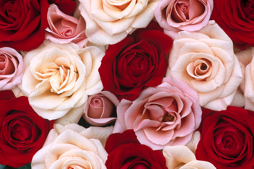 Pink And Red Roses Flowers