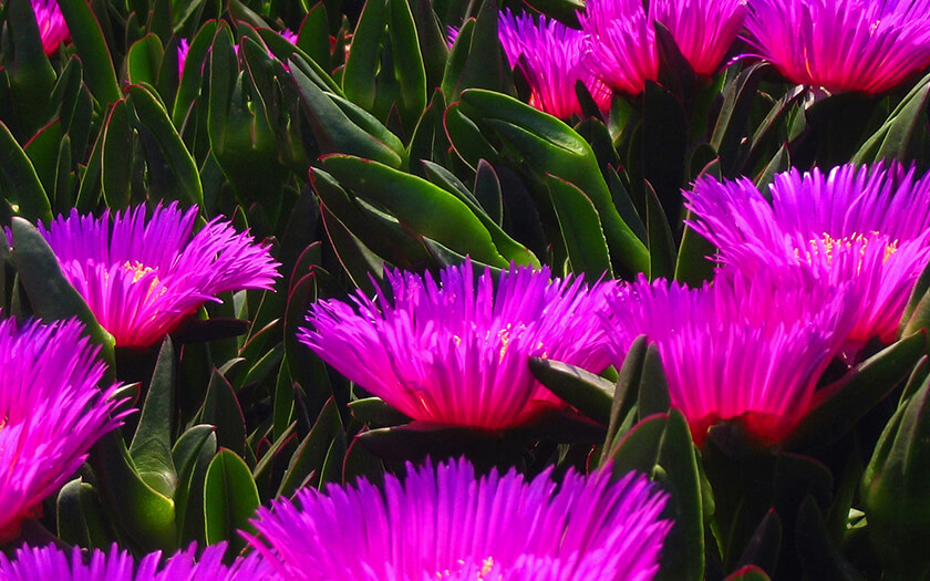 Purple Hottentots Fig Flowers