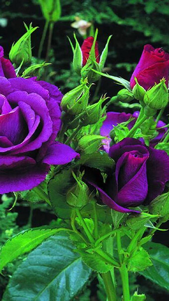 Purple Roses Flowers