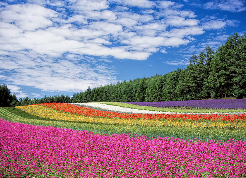 Rainbow Field Flowers