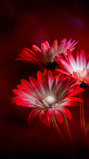 Red And White Daisy Flowers