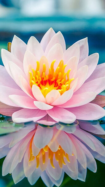 Soft Pink Lotus Flower