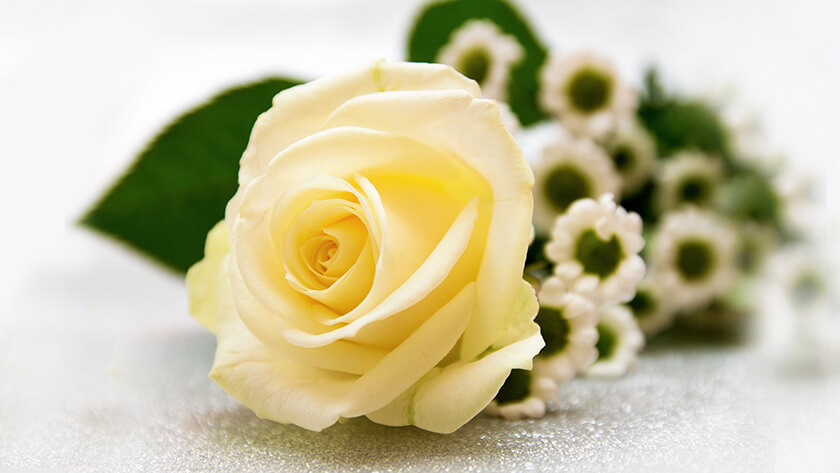 Soft Yellow Rose Flowers