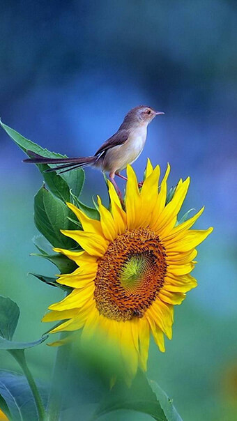 Sunflower With Bird Flowers