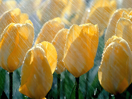 Tulips In Rain Flowers