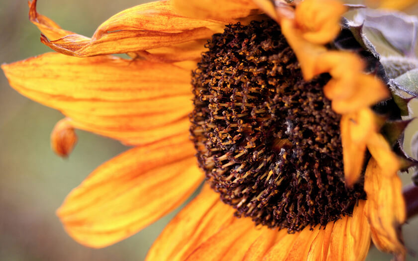 Vintage Sunflower Flower