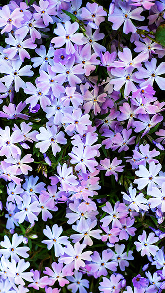 Violet and Blue Flowers