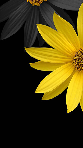 Yellow And Black Daisy Flowers