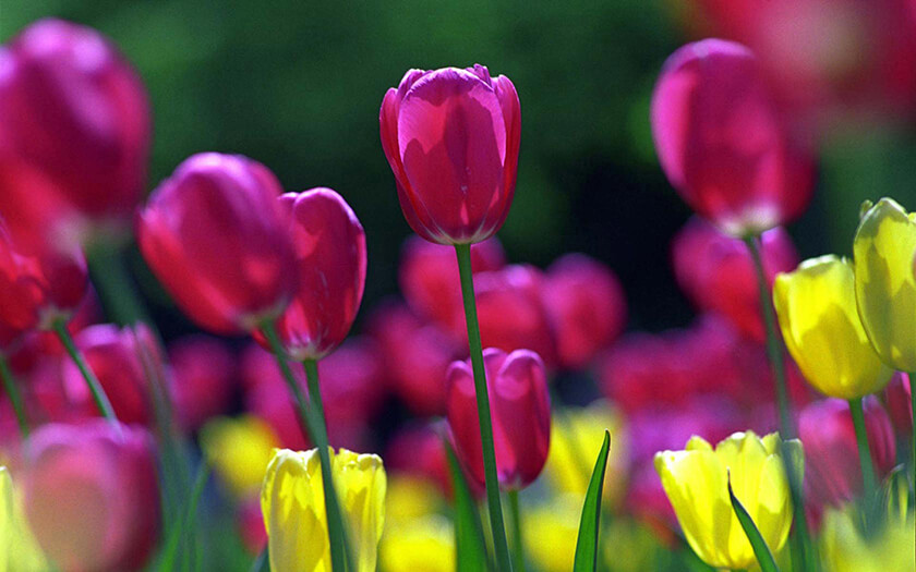 Yellow And Purple Tulip Flowers