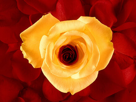 Yellow And Red Roses Flowers