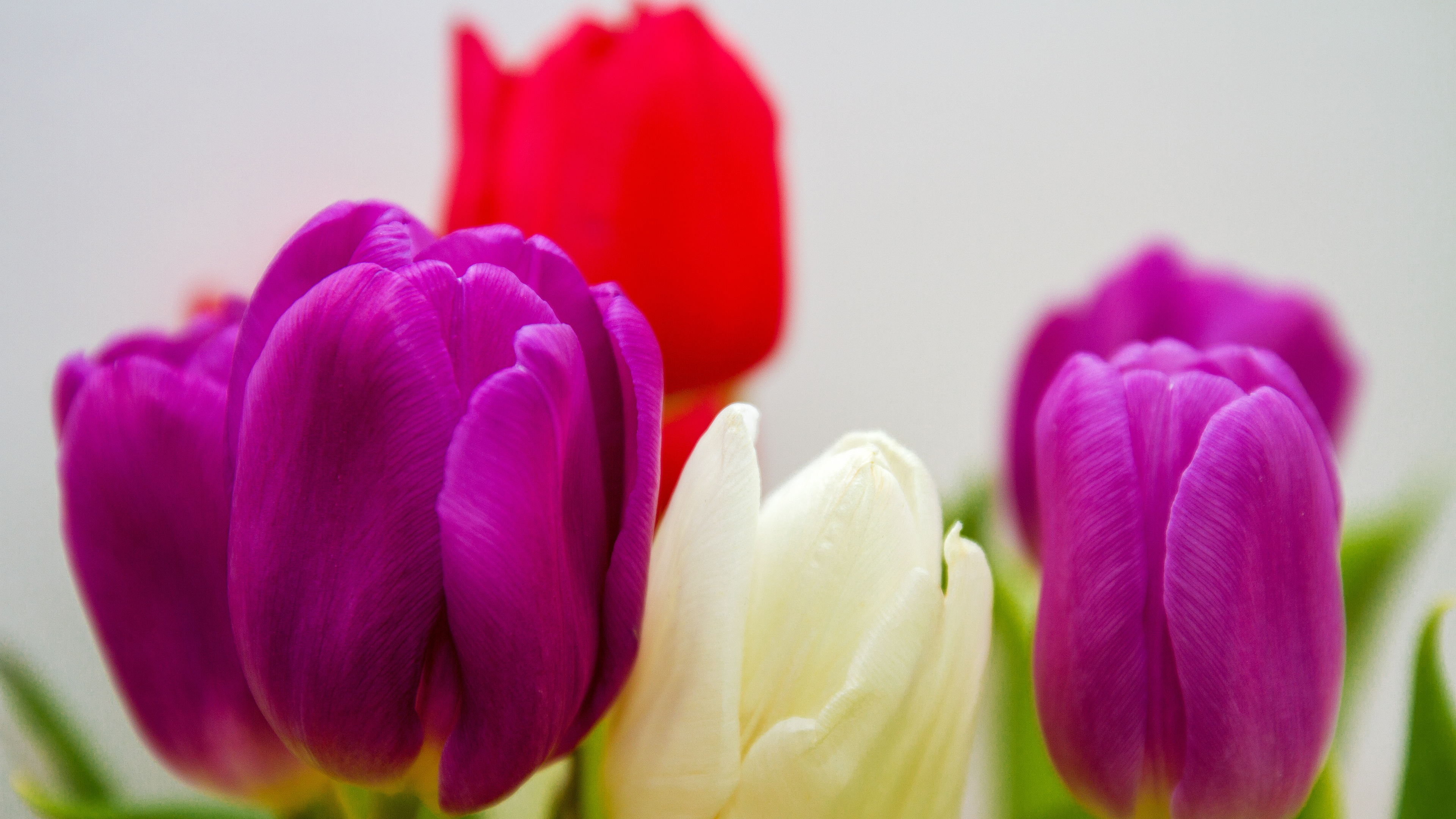 download colorful tulip flowers laptop wallpaper in uhd 4k 0102
