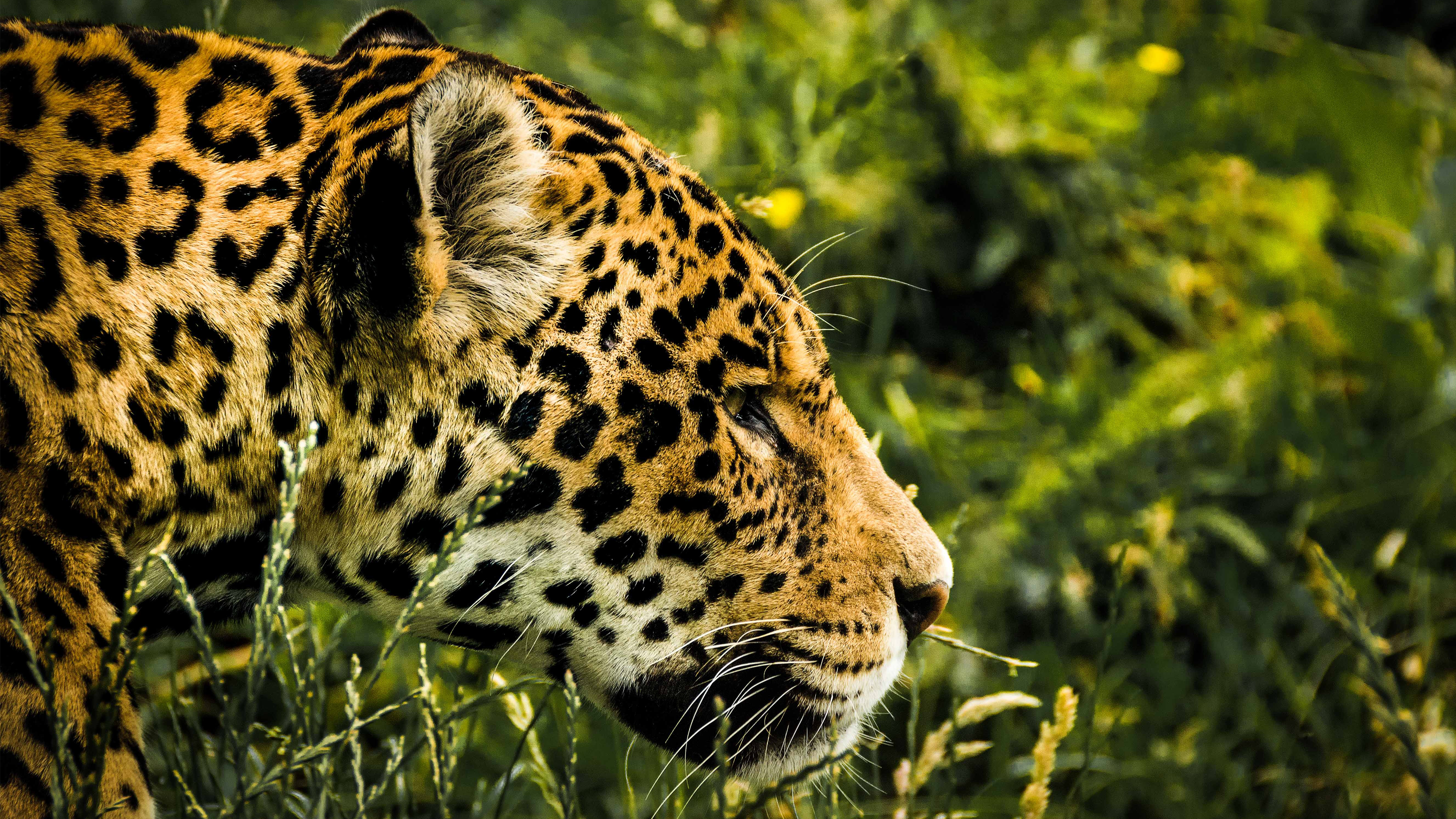 download free hd jaguar in the jungle desktop wallpaper in 4k 0262