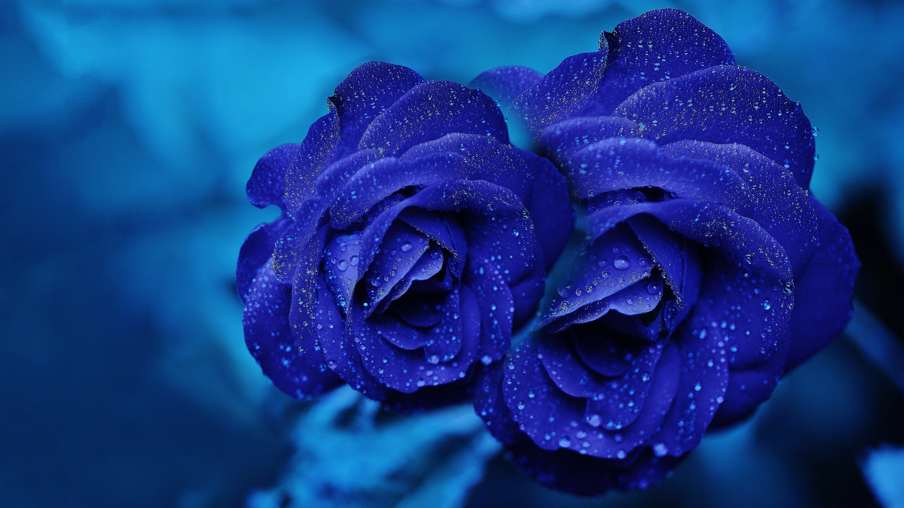 index of /wallpapers/collections/blue-rose-wallpaper-collection