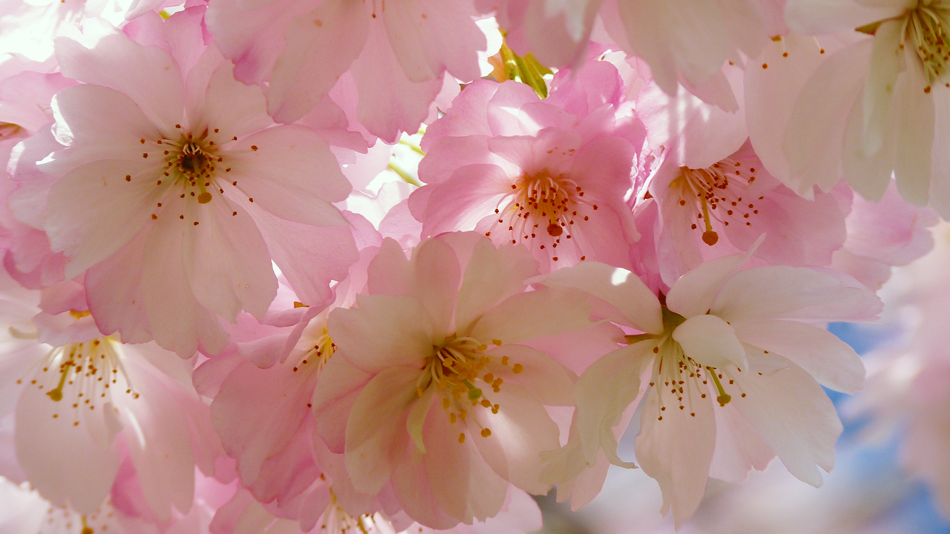 Download Free HD Japanese Cherry Blossom Desktop Wallpaper ...