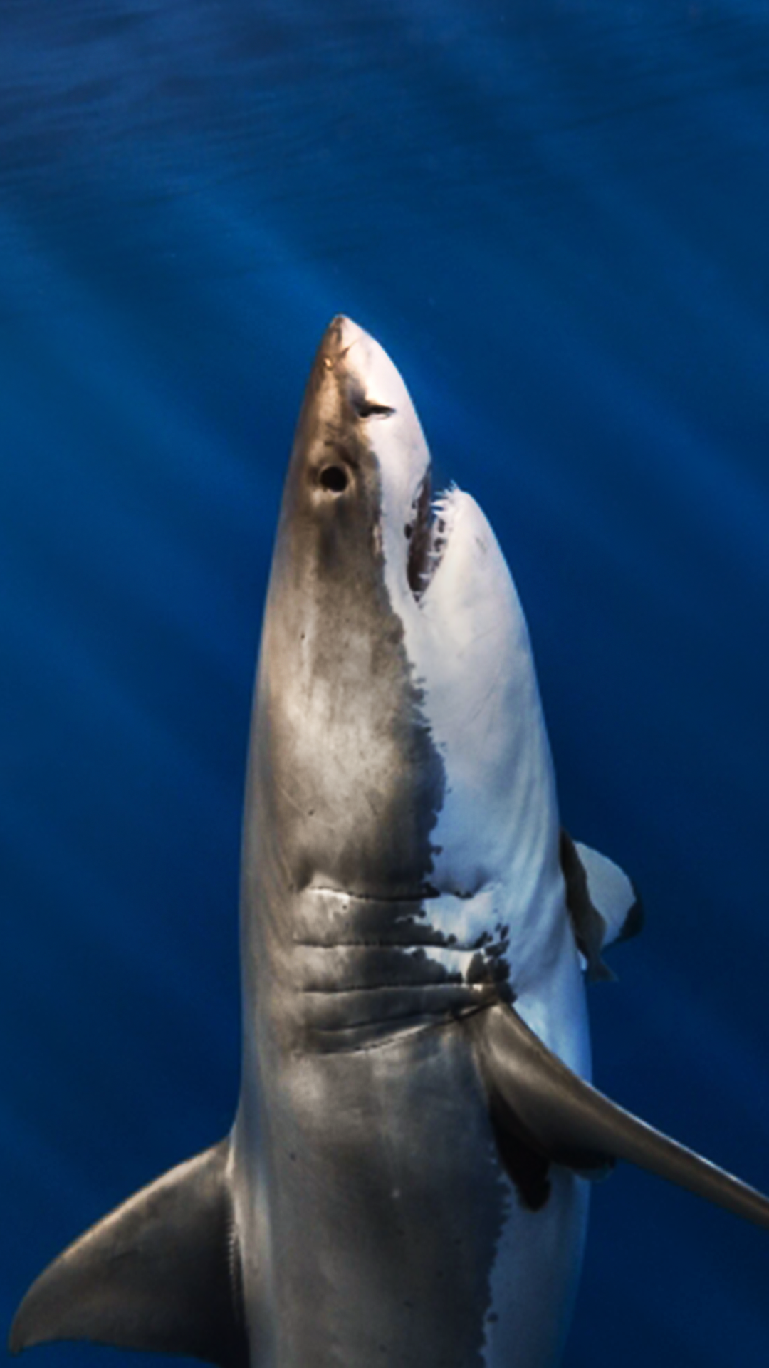 ultra hd great white shark wallpaper for your mobile phone 0402