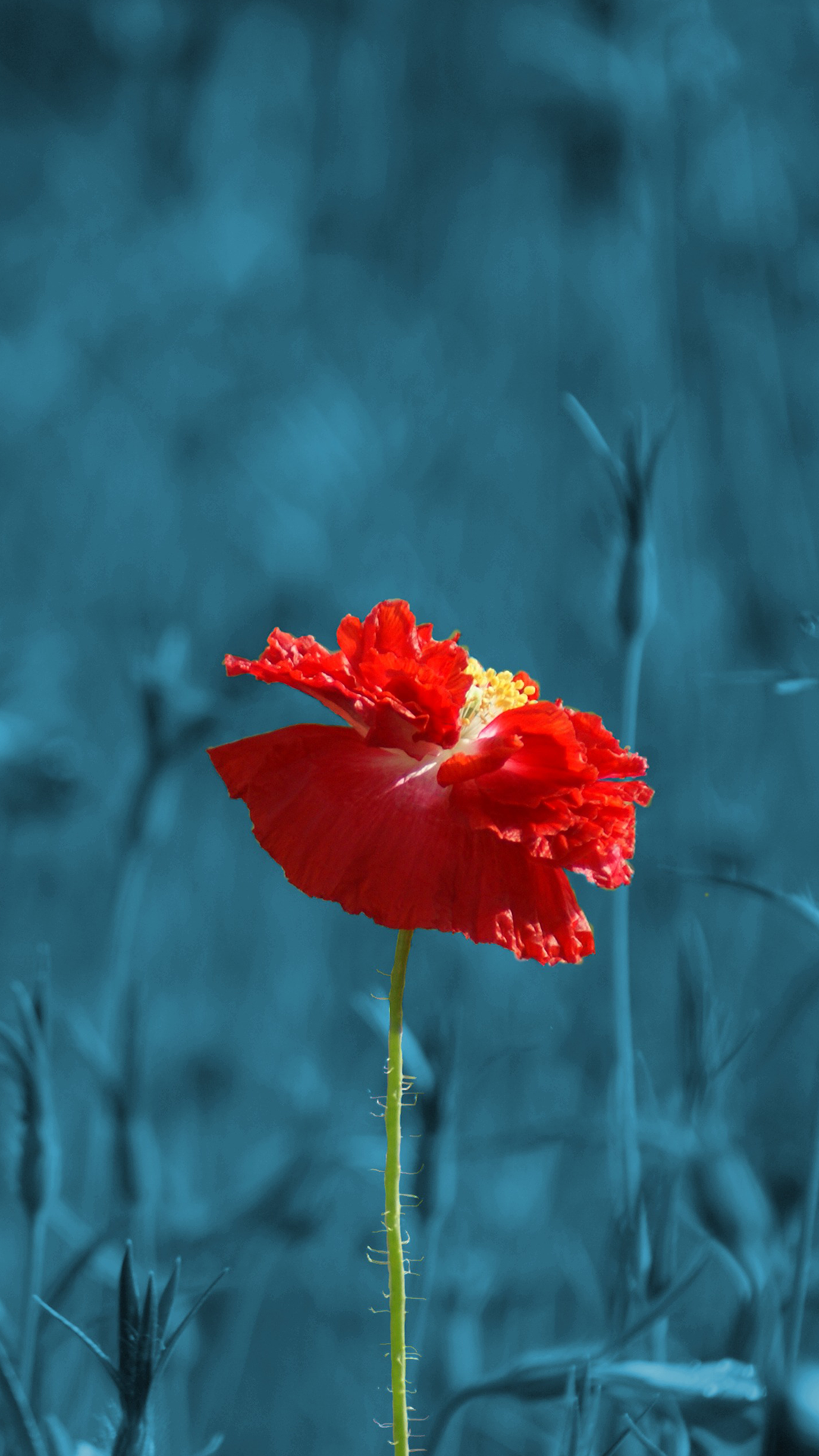 ultra hd red poppy flower wallpaper for your mobile phone 0497