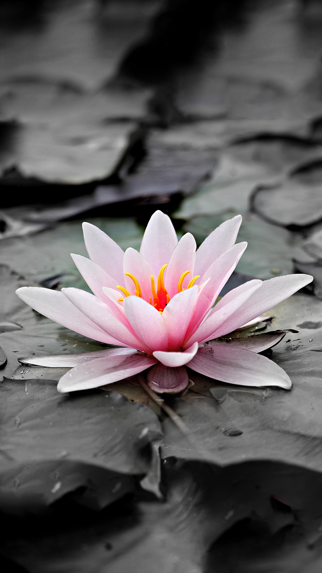 Ultra Hd Sacred Lily Wallpaper For Your Mobile Phone 0503