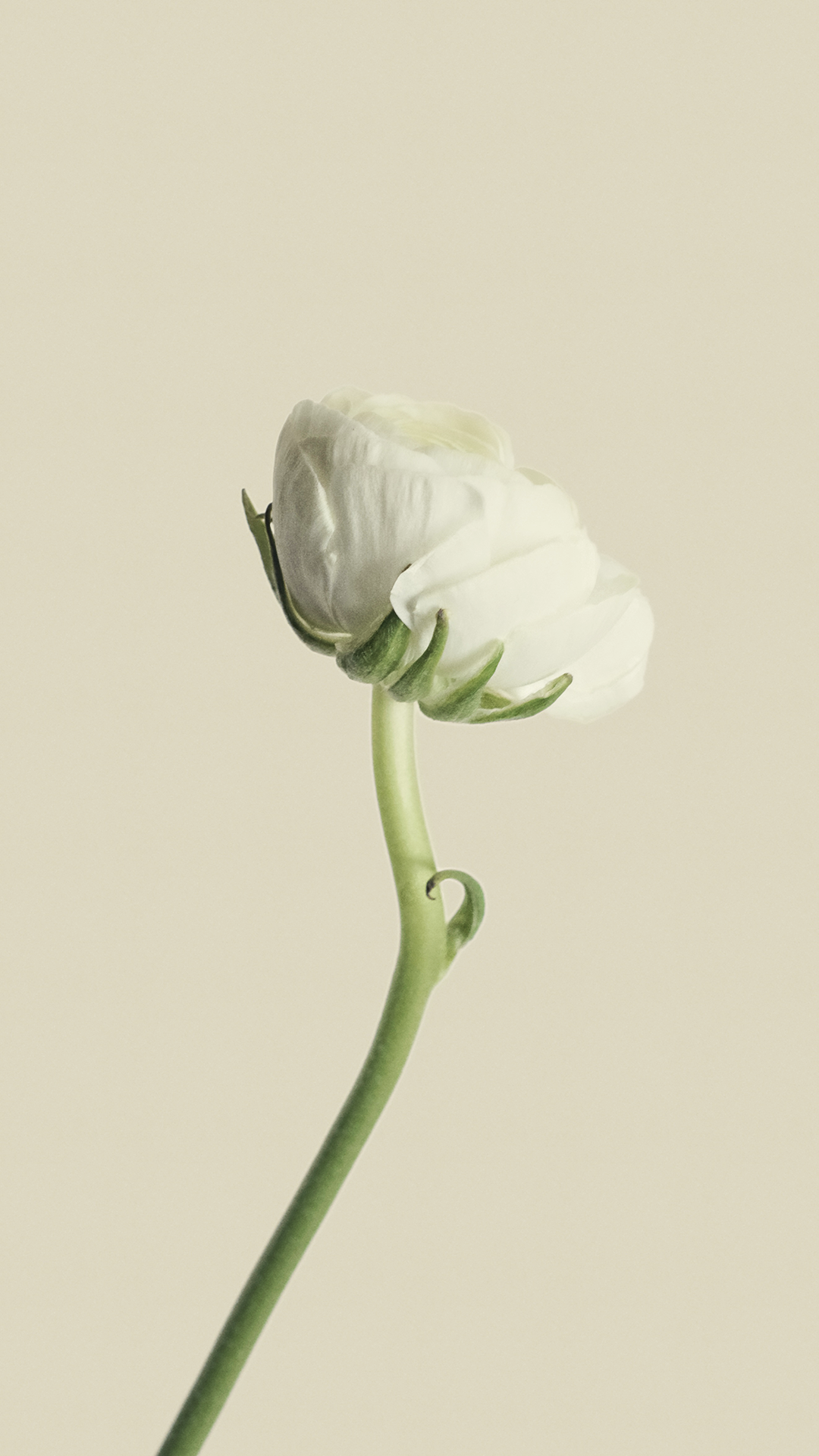 ultra hd simple white flower wallpaper for your mobile phone 0522