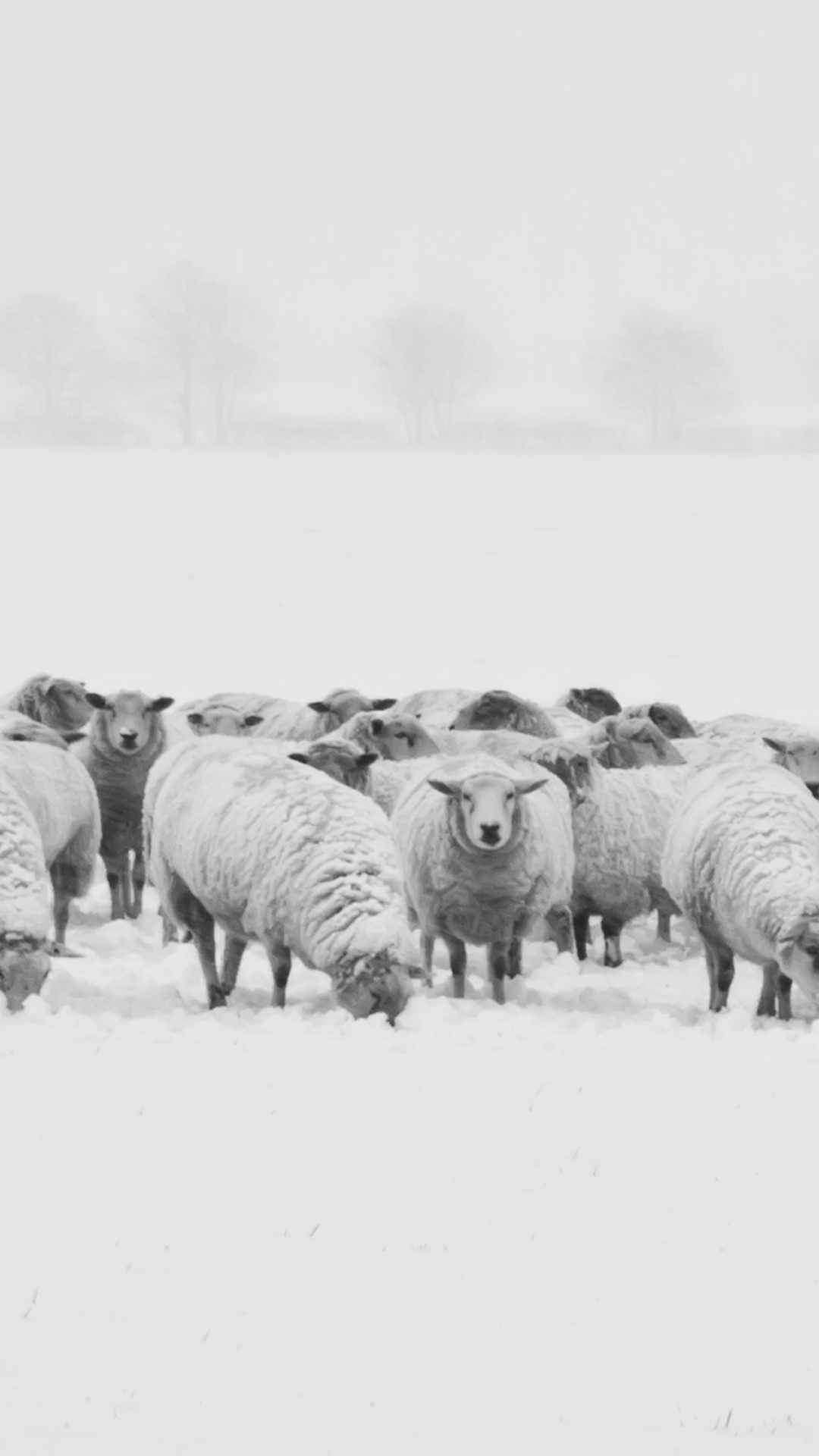 Winter Sheep 1080 X 1920 FHD Wallpaper
