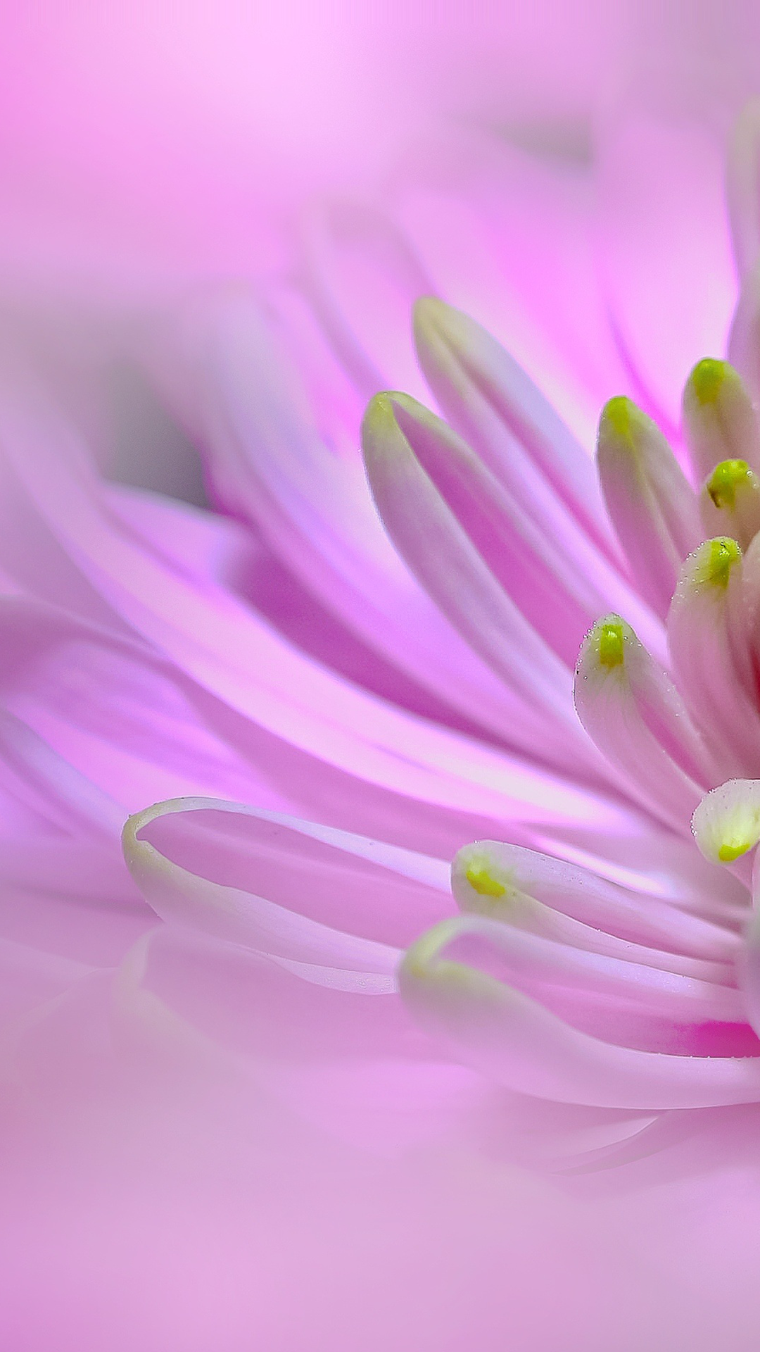 Ultra hd pink dahlia flower wallpaper for your mobile - Flower wallpaper for your phone ...